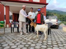 अध्यक्ष श्री रामकृष्ण थापा द्वारा उन्नत जातको बोयर बोका वितरण गर्नुहुदै